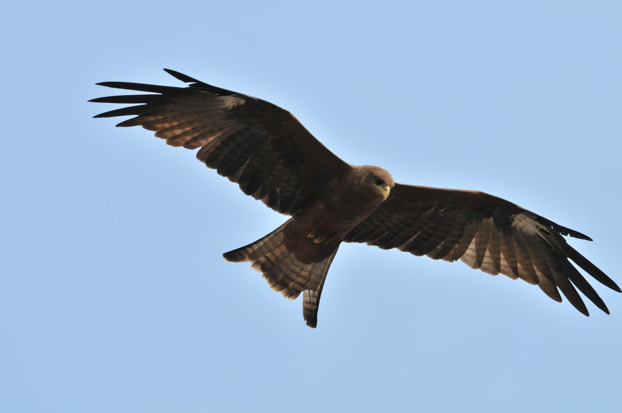 Adler erwischt