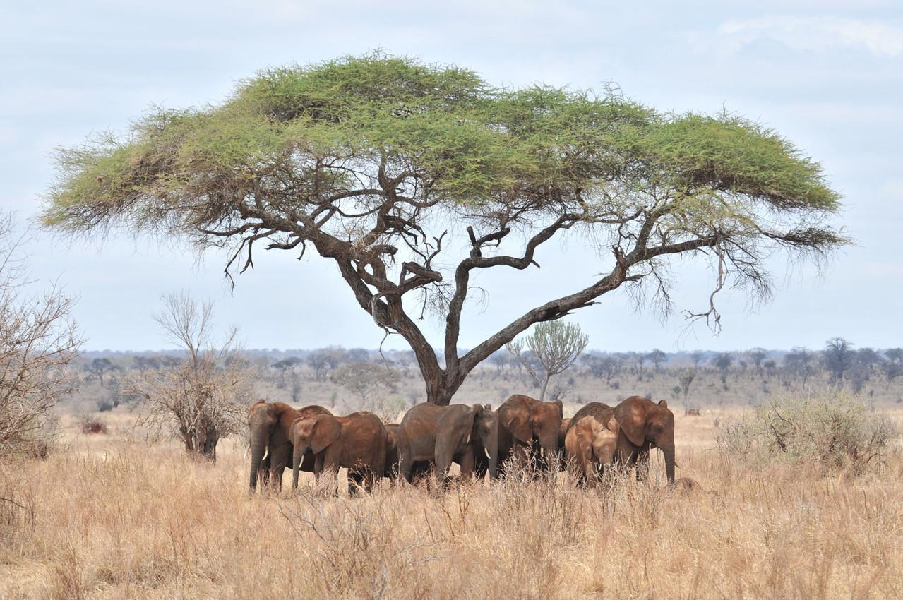 Schattensuchende Elefantenherde