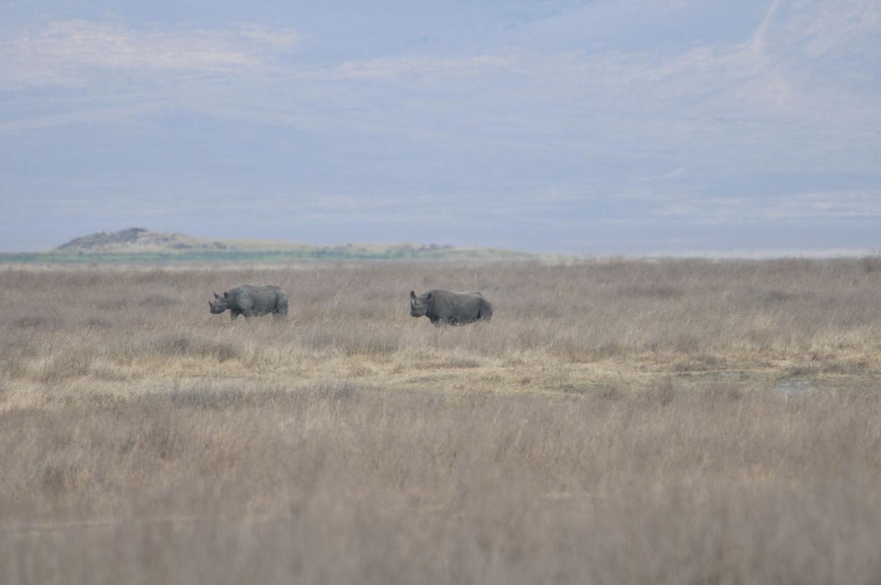 Seltene Sichtung - Black Rhino - Spitzmaulnashörner