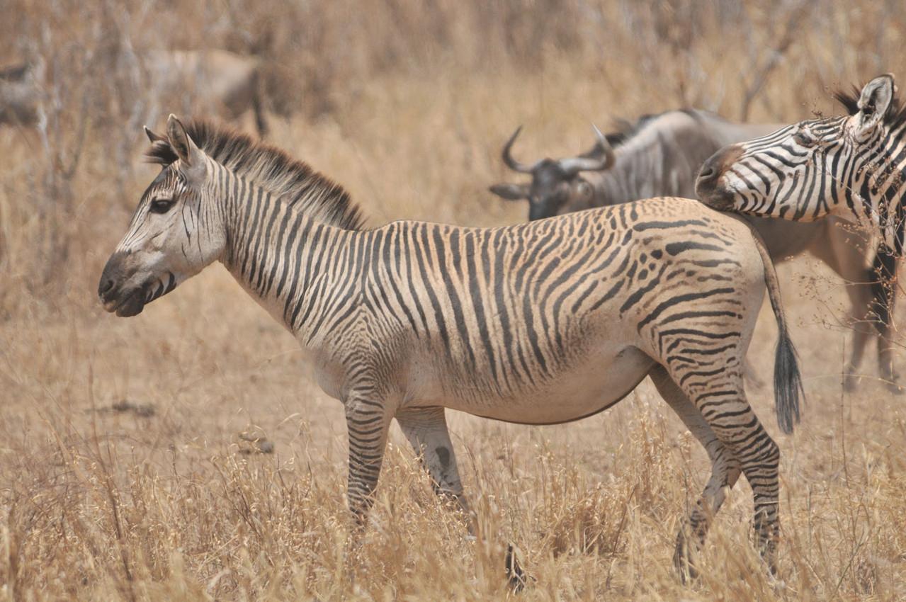 Zebra? Wer kennt diese Art?