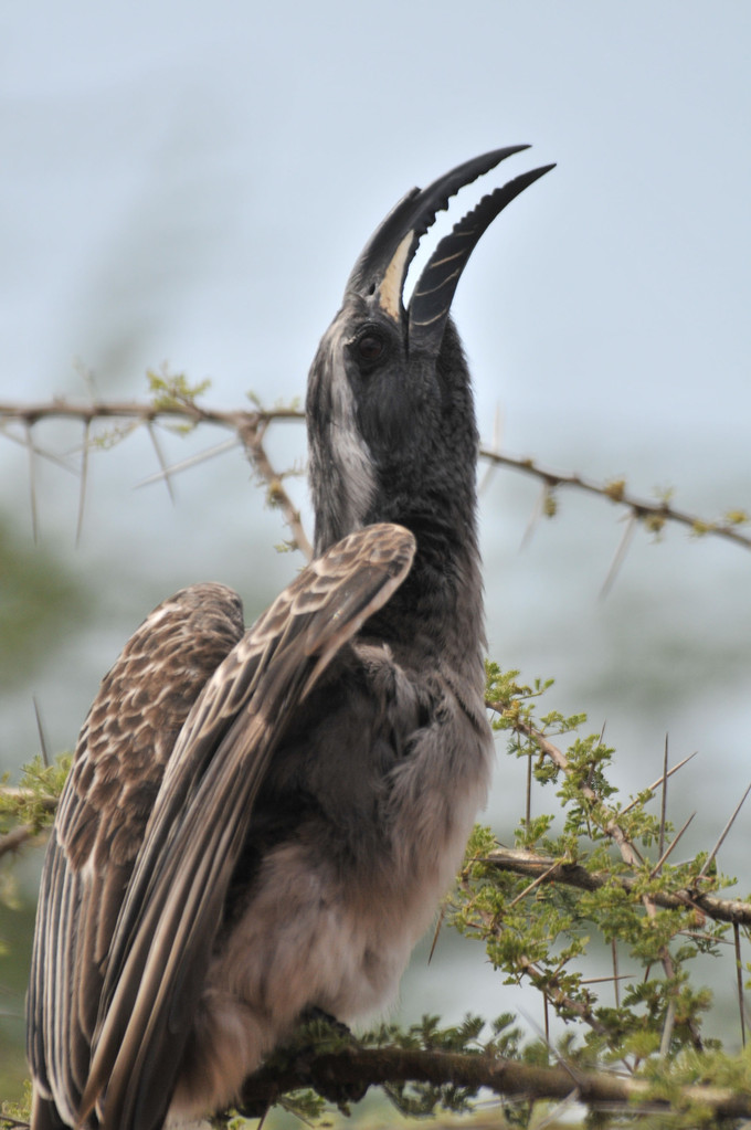 Ground Hornbill - Kaffernhornrabe