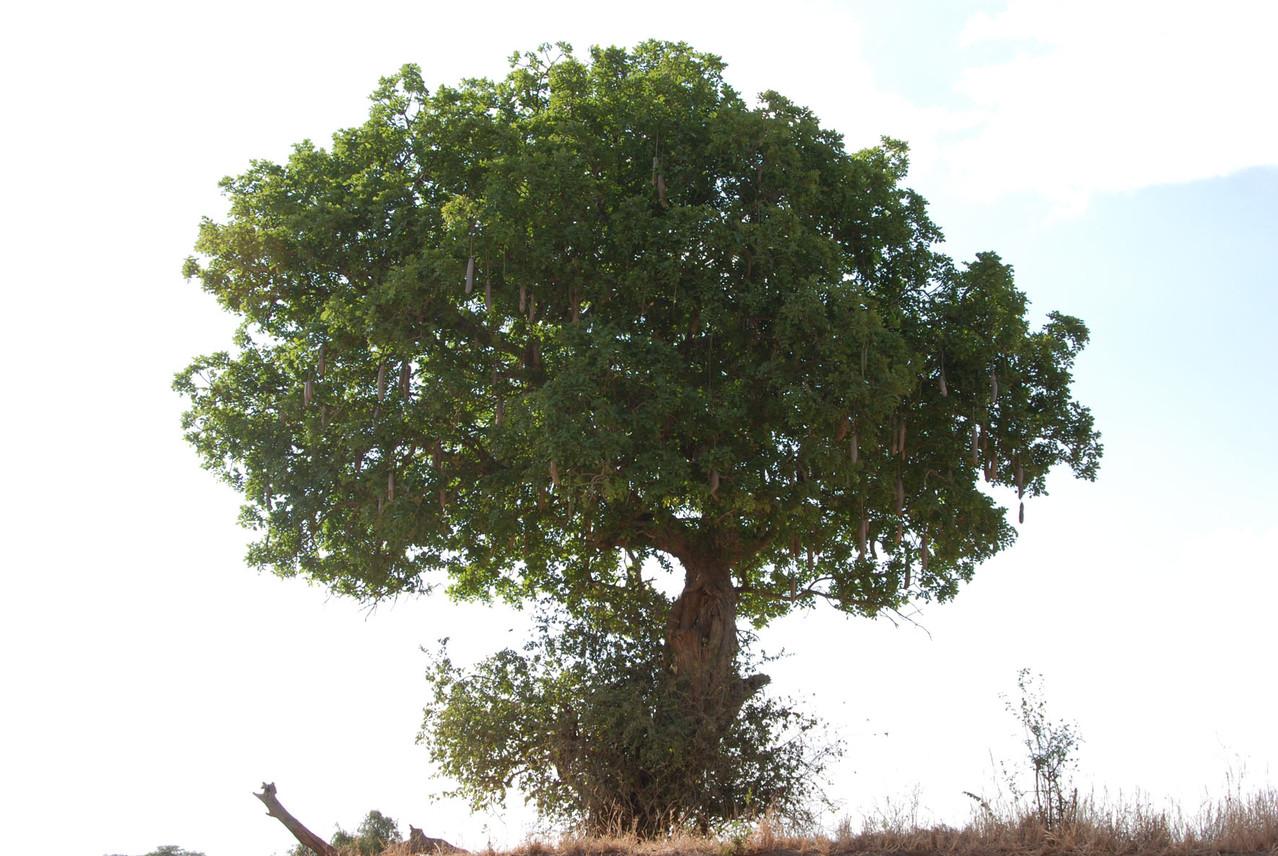 Sausage Tree - Leberwurstbaum, weil..