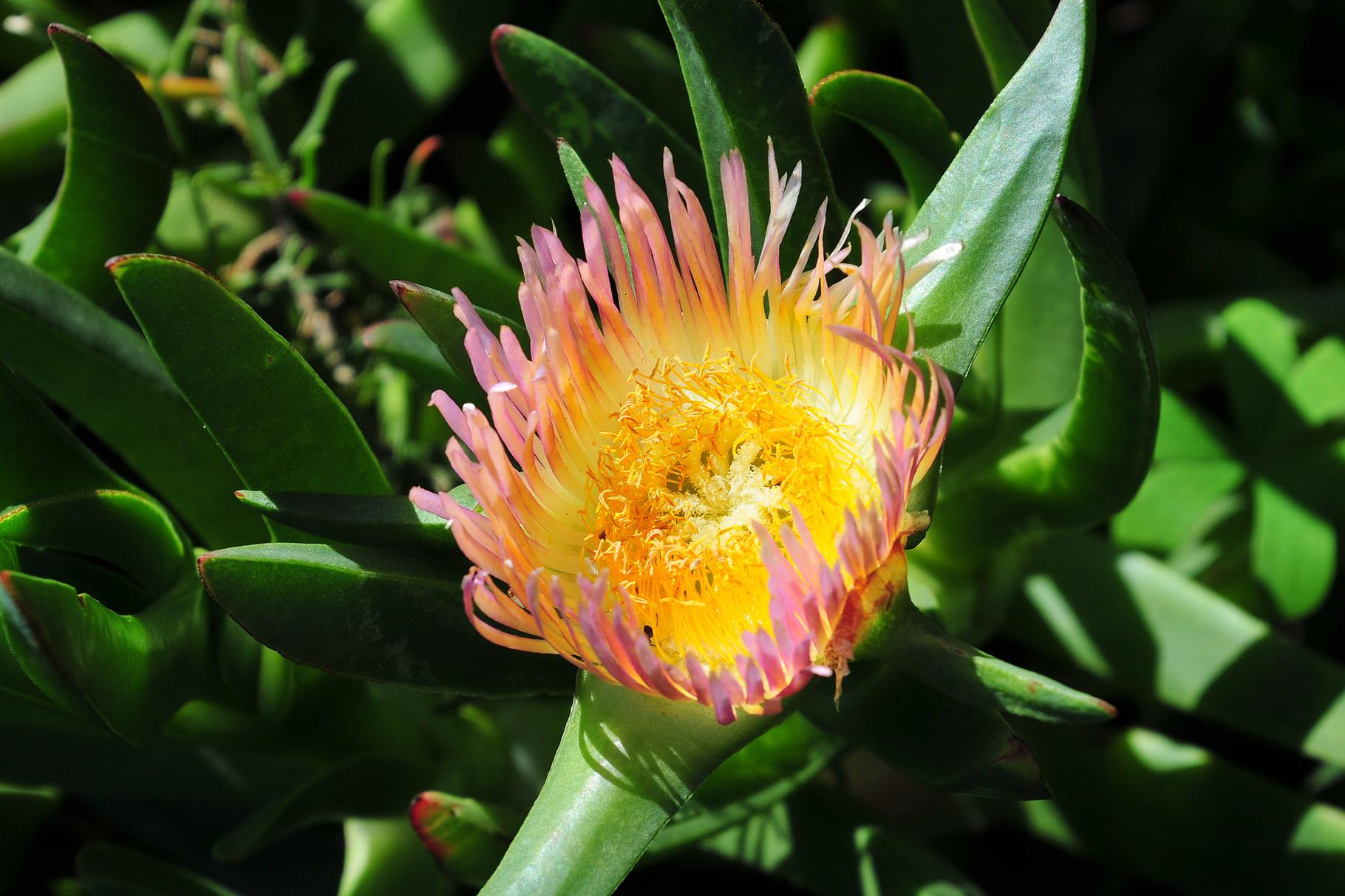 Auch die Sukkulenten Blüten sind hier sehenswert