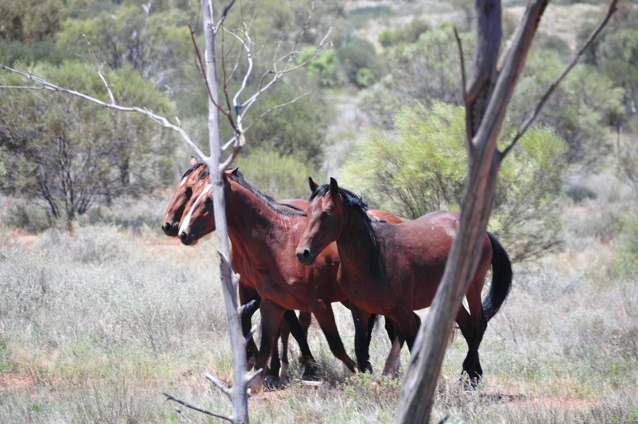 Brumbies mit Hecht- und Ramskopf in einer Herde!