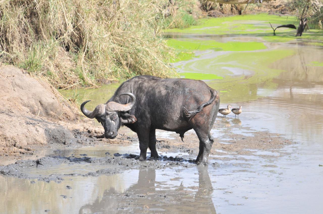 Buffalo - Kaffernbüffel