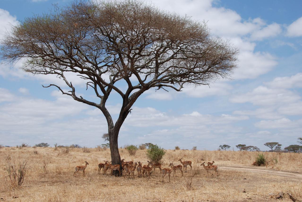 Schattensuchende Impala Jungtiere