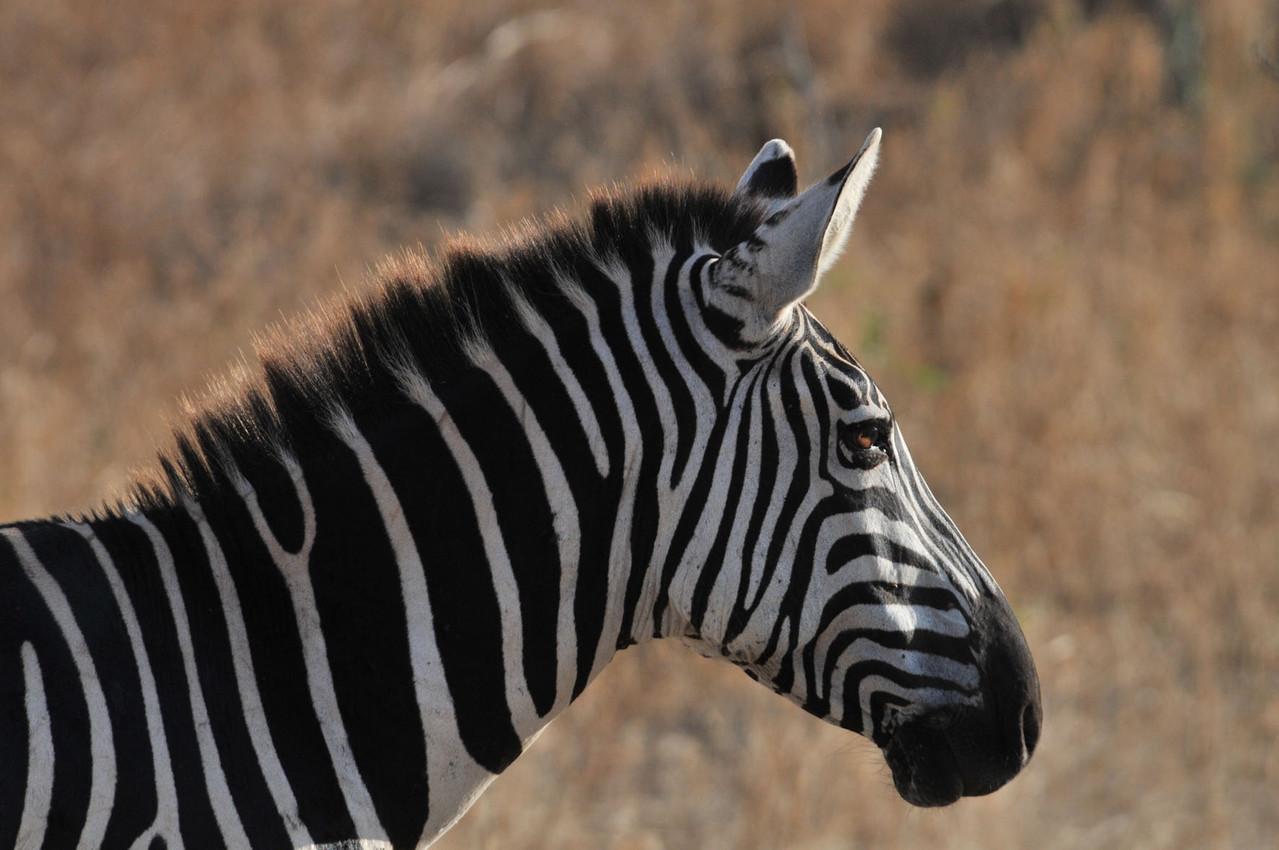 Zebra in der Abendsonne