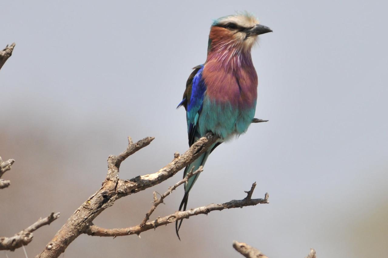 Malachite Kingfisher - Grüner Eisvogel