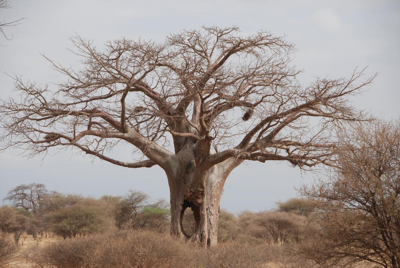 """Baobab Tree mit """"Lichtblick"""""""