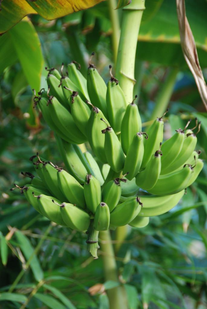 ...frischen Bananen...