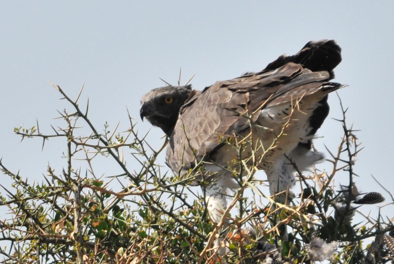 Kampfadler beim Rupfen eines Perlhuhns
