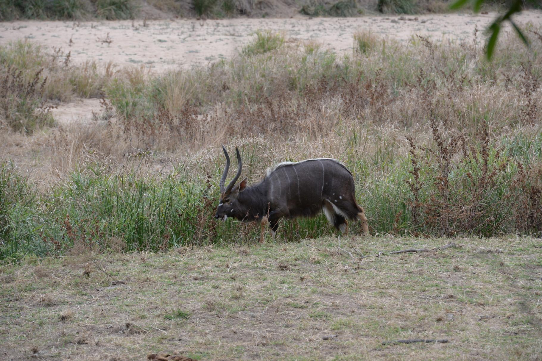 Nyala Bulle