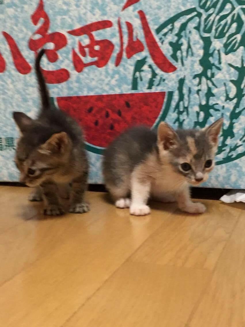 右が我が家に来る前のネコ氏、左が兄妹猫のキジトラちゃん