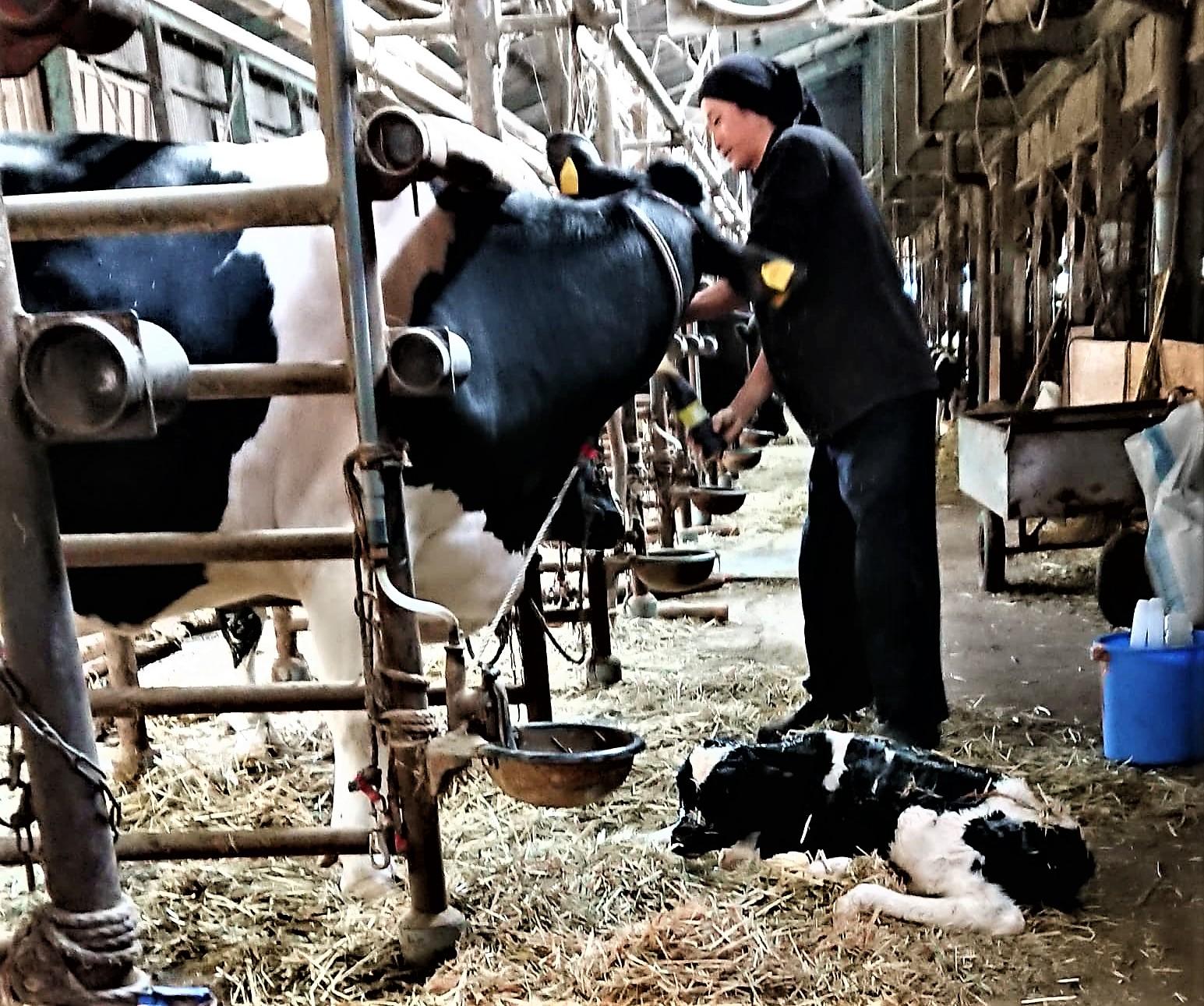 なんと!牛舎の中では仔牛が!