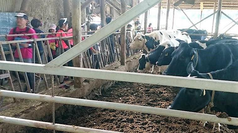 逆エイド! ランナーさんから牛さんに牧草をあげてもらいました。