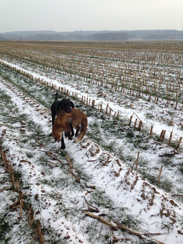 Emir apportiert den ersten Fuchs, den Jungjäger Max in Brandenburg auf seiner ersten Jagd erlegt hat - Jan. 2014