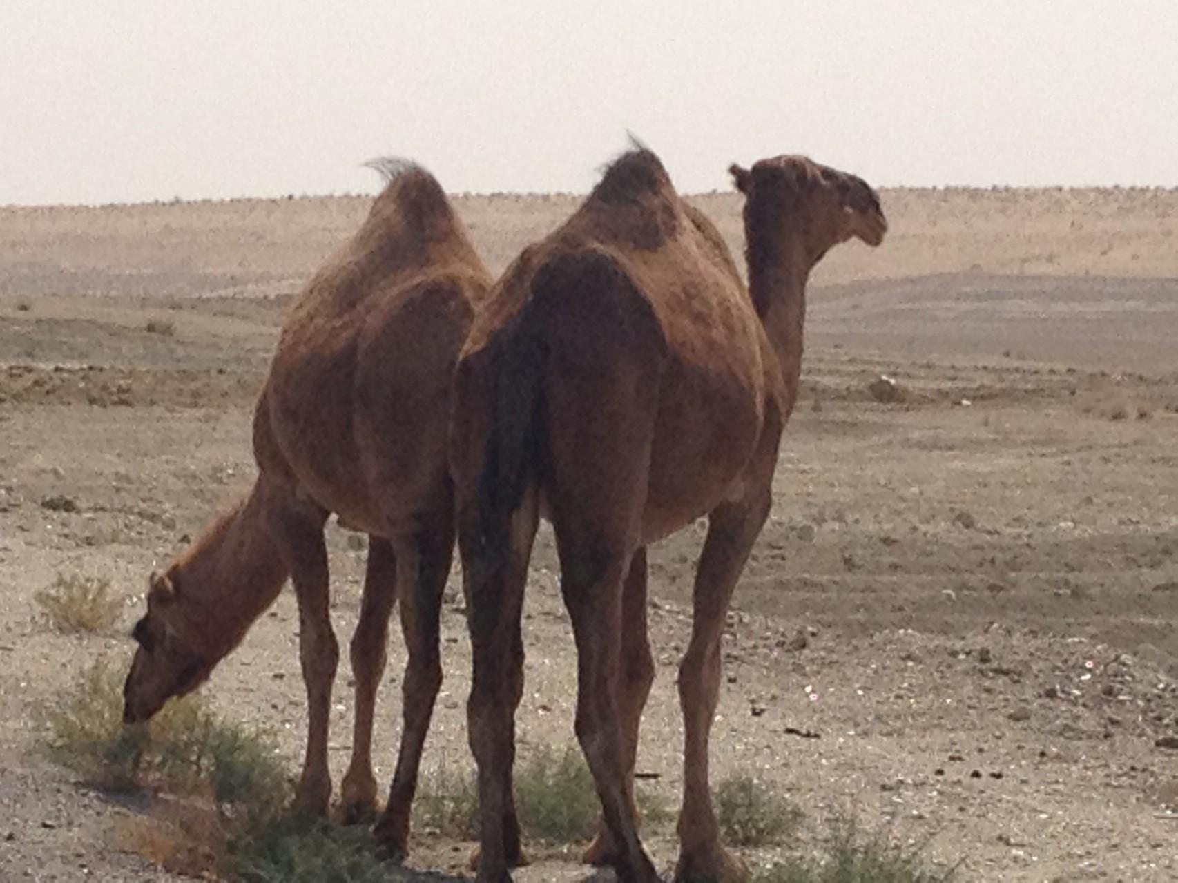 ....und die ersten Kamele