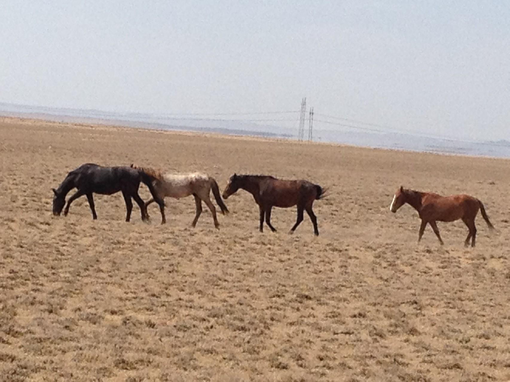Wilde Pferde am Strassenrand