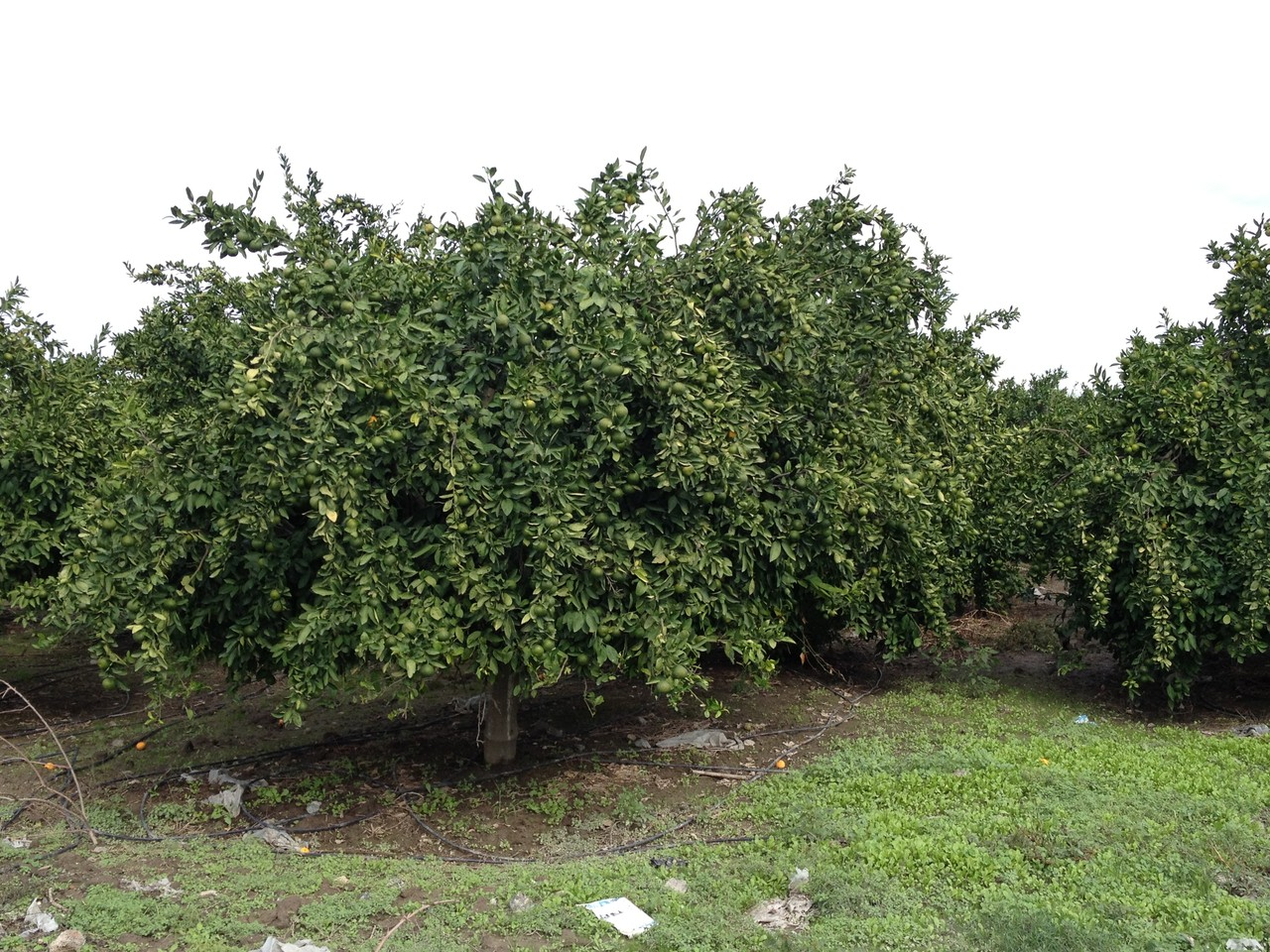 Was für Zitronenbäume!