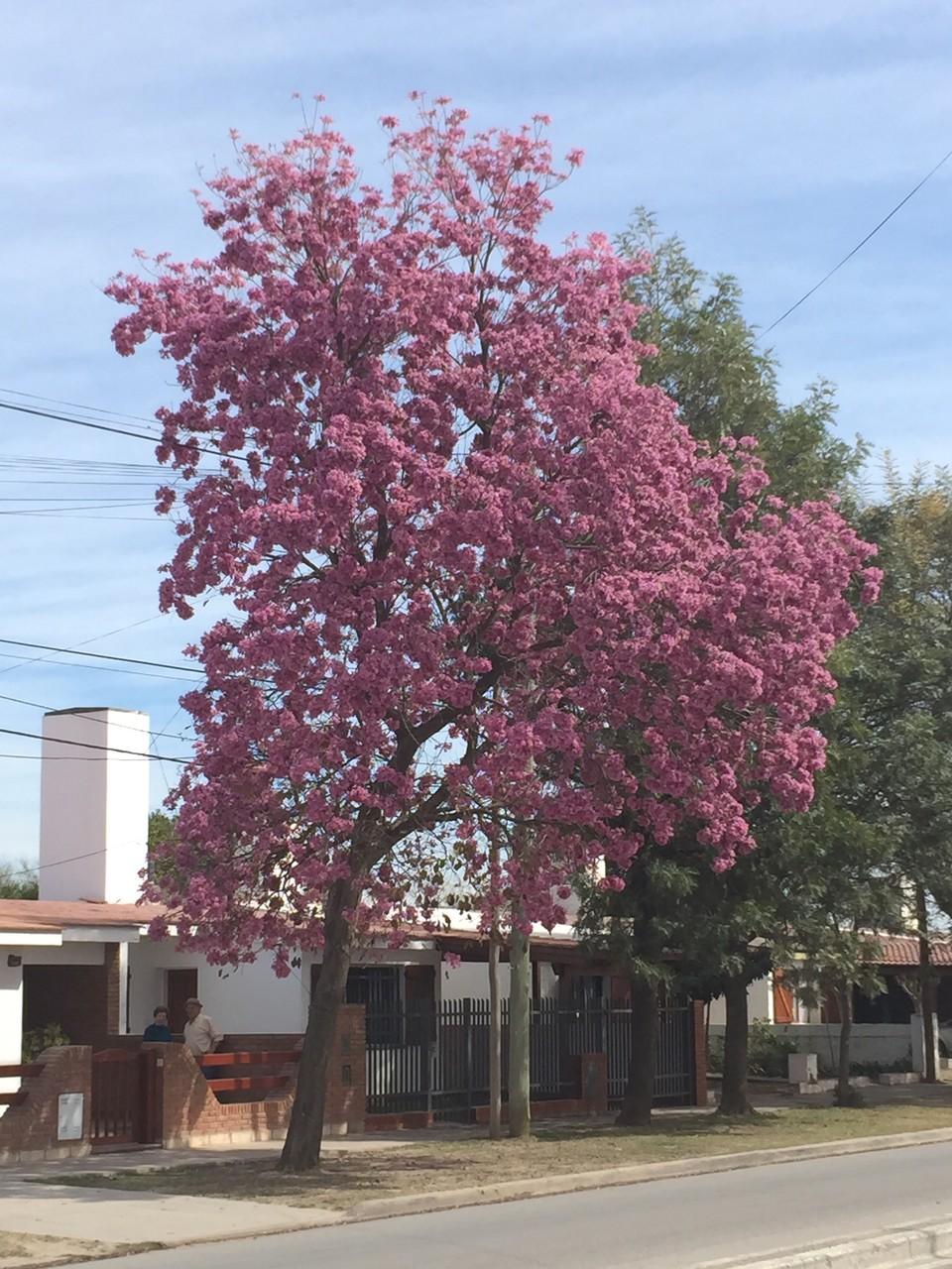 Jacaranda blühen