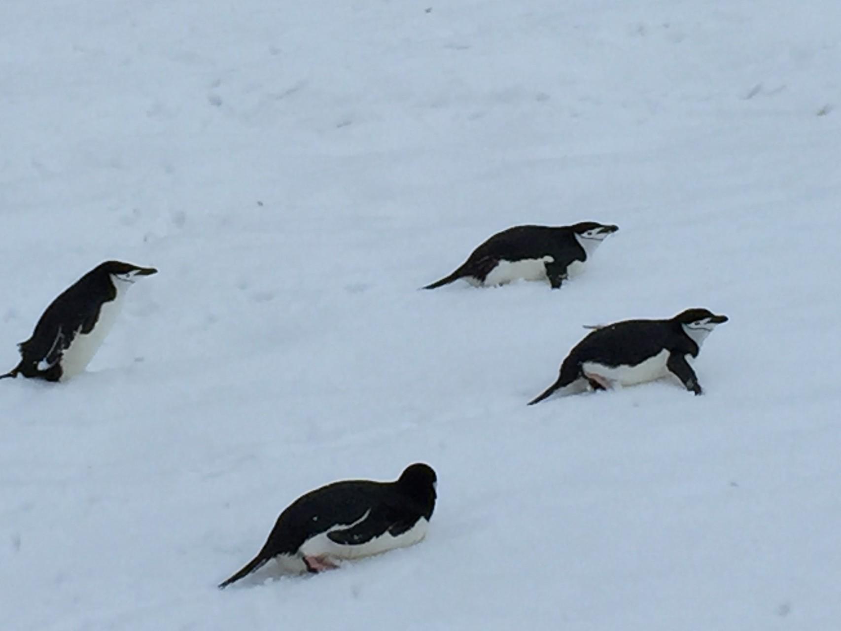 """Pinguine beim """"Schlitteln"""""""