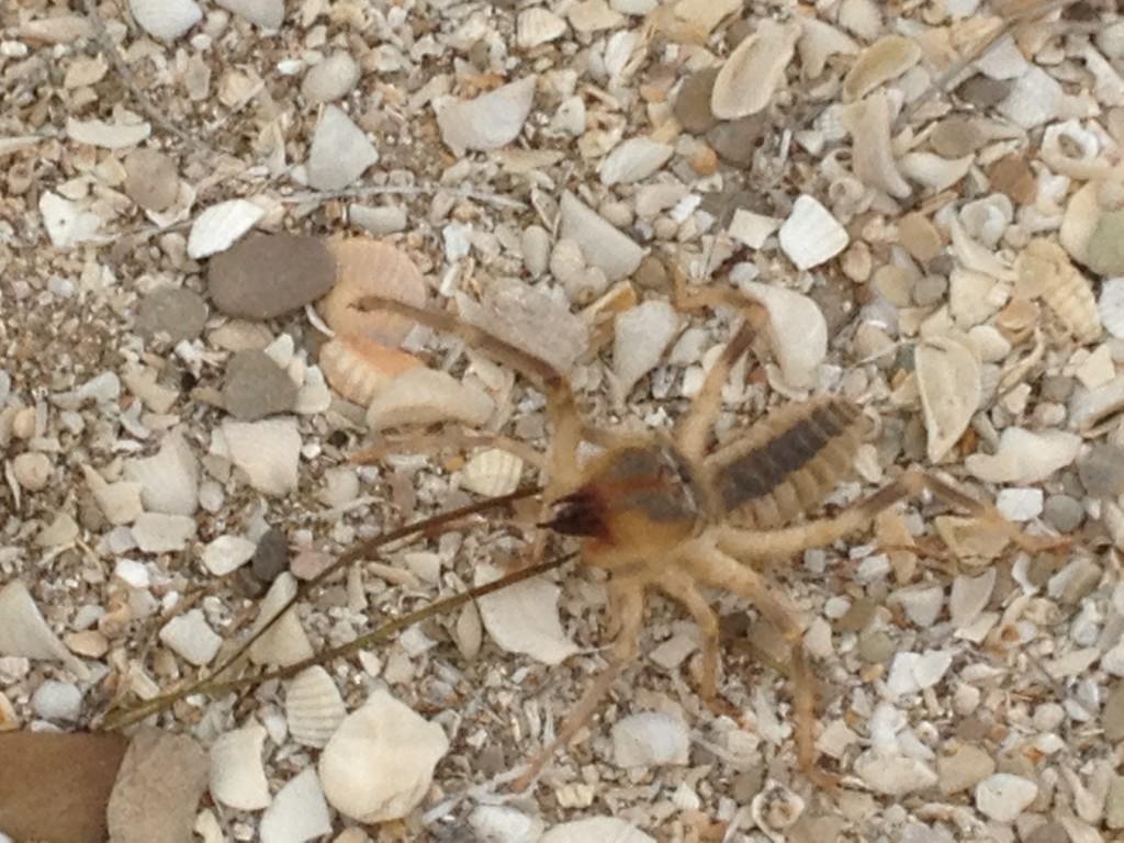 gefährliche Spinne