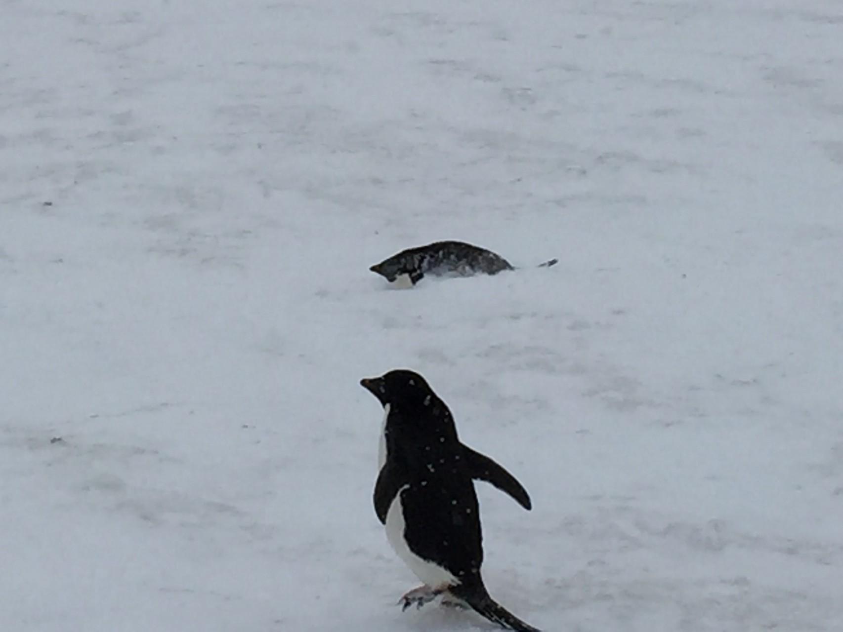 Pinguin der sich einschneien lässt