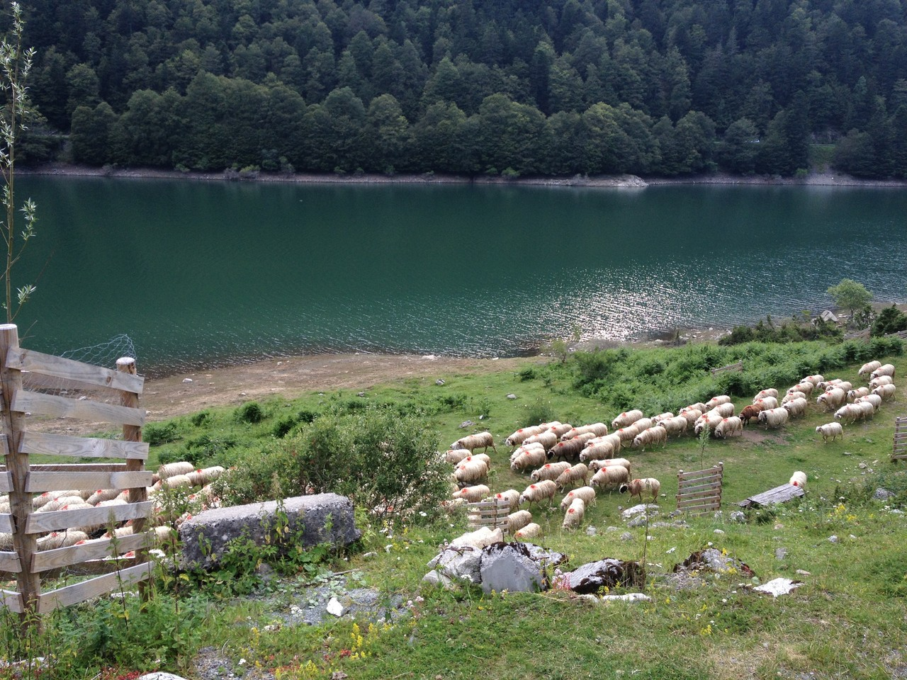 Schafherde am Lac de Fabrèges