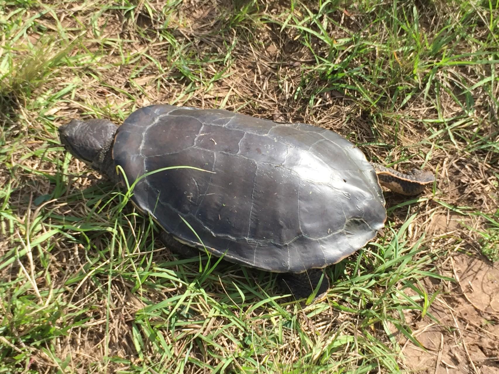 gerettete Wasserschildkröte