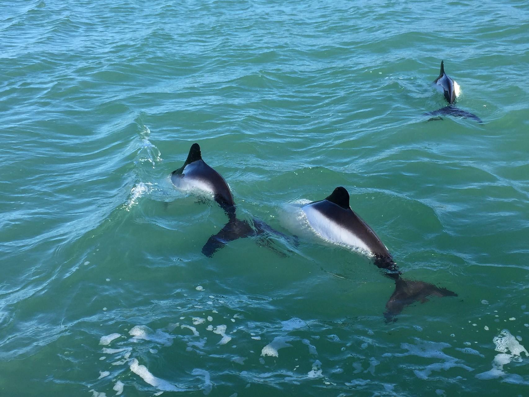 ...und Commerson-Delfine
