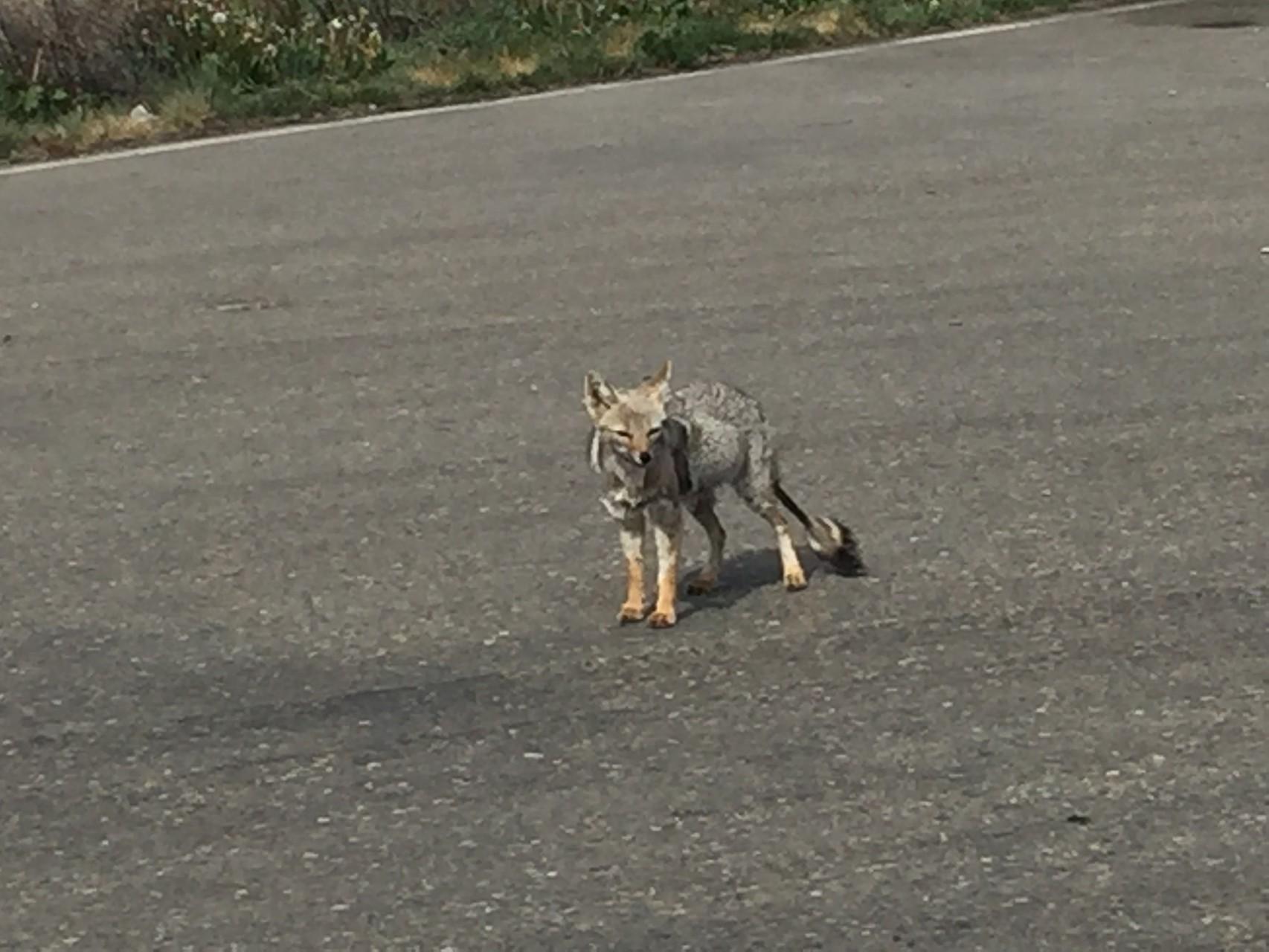 grauer Fuchs an der Grenze