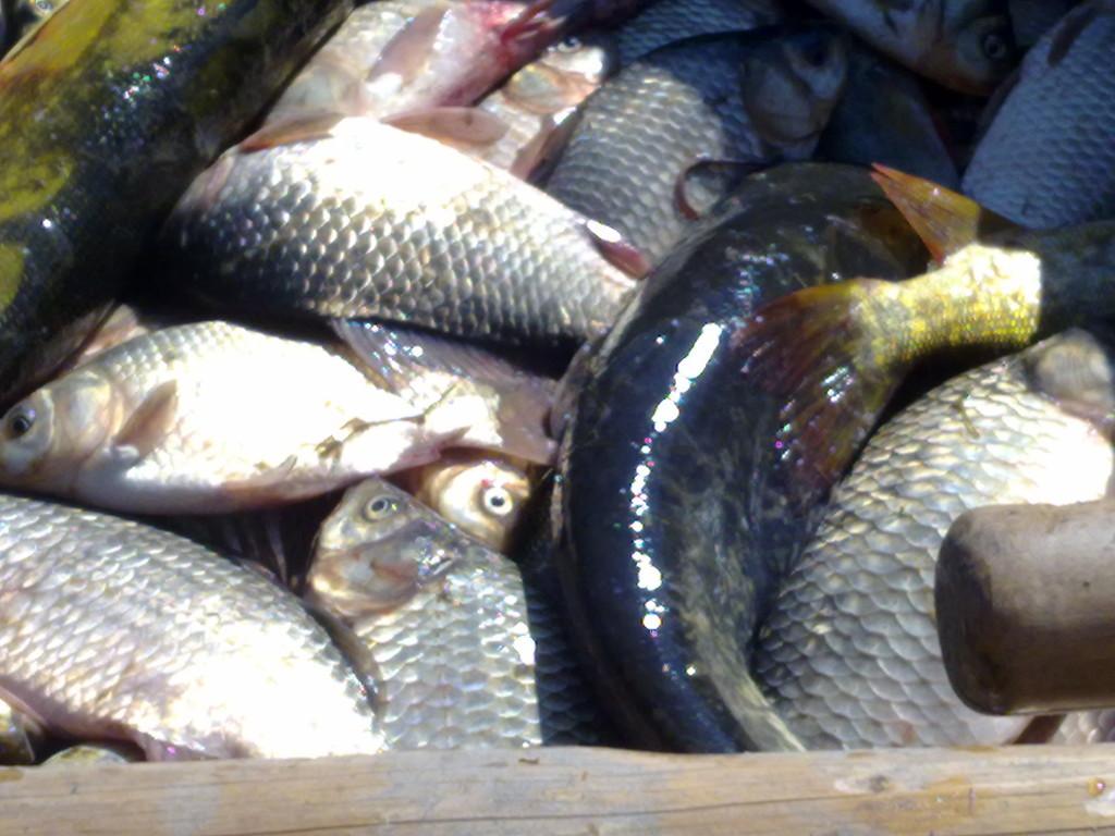 Fische aus dem Donaudelta