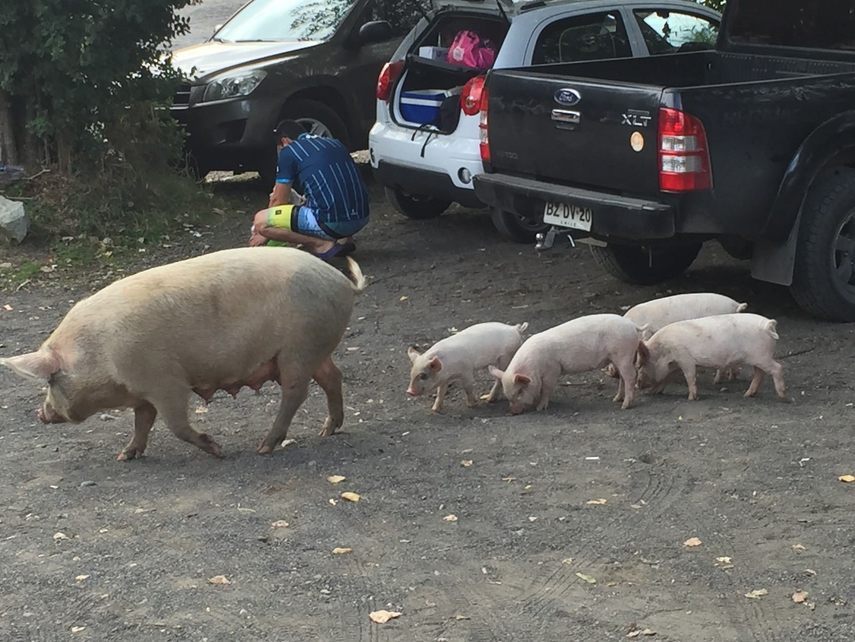 Schweine auf dem SPA Parkplatz