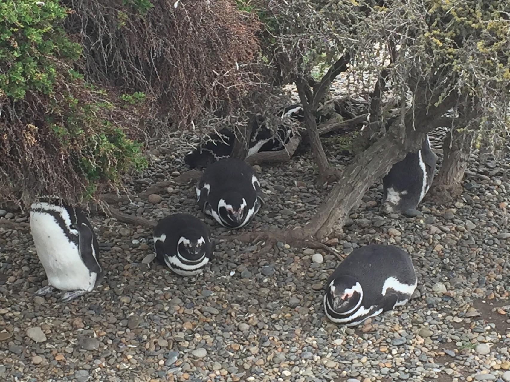 Cabo Virgines mit 30`000 Pinguinen