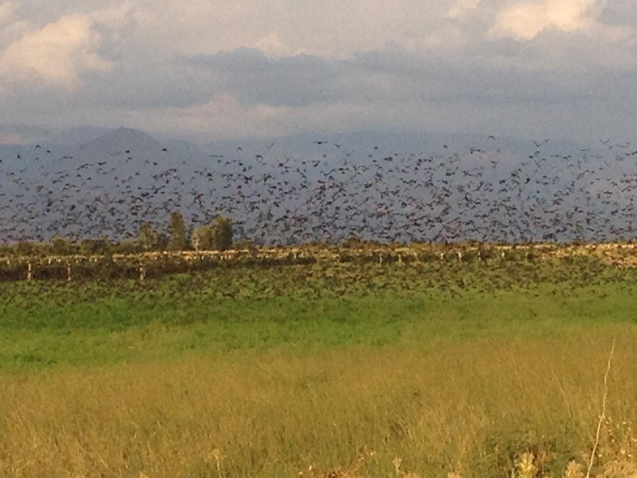 Vogelschwarm in den Reben