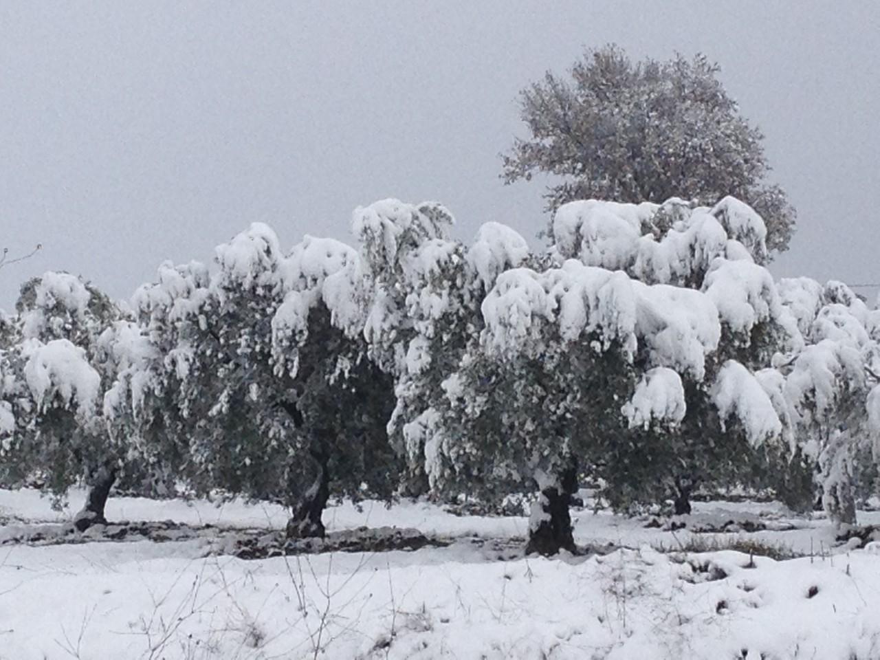 Olivenbäume im Schnee