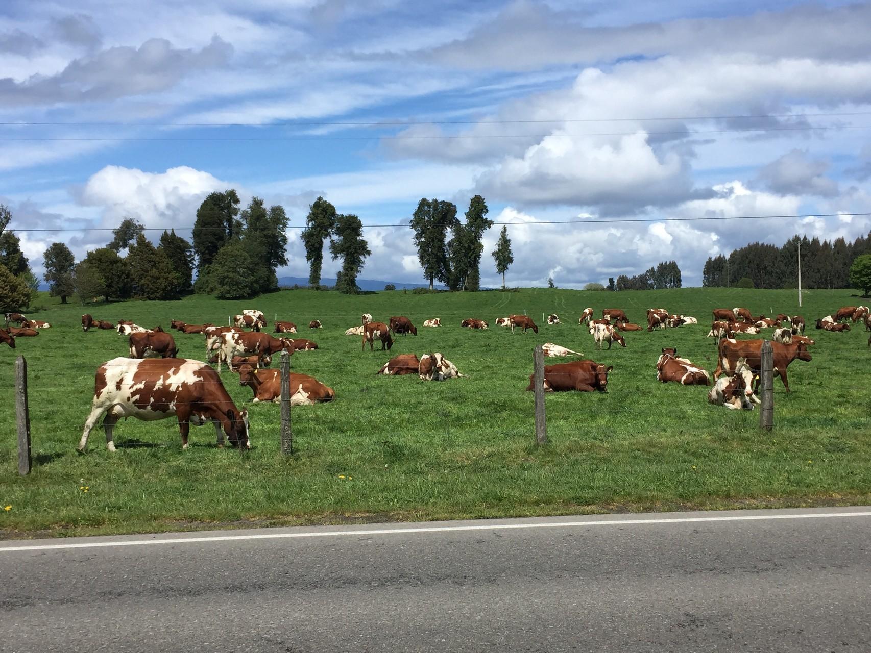 Glückliche Kühe in Chile
