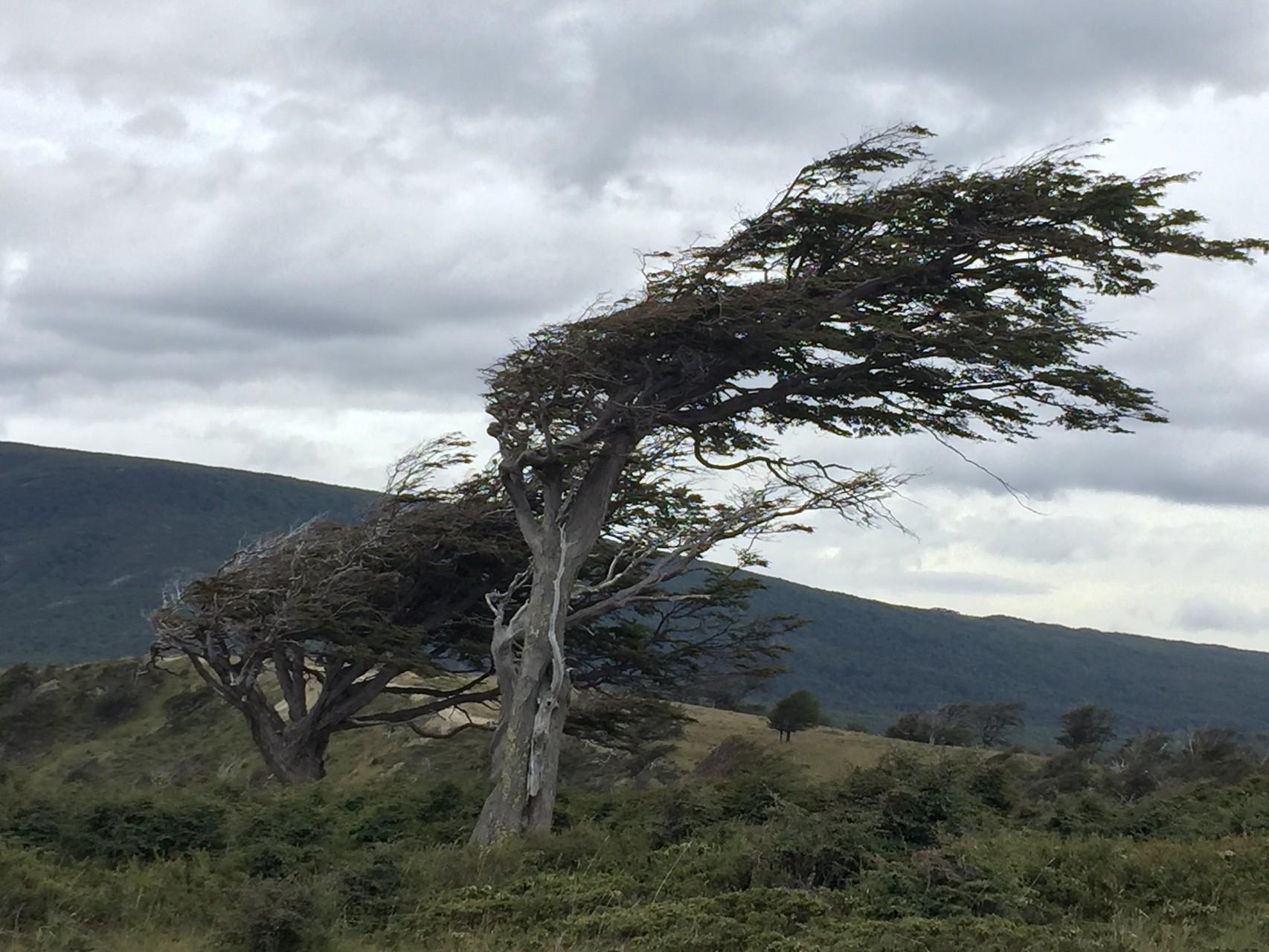 Windschräge Bäume