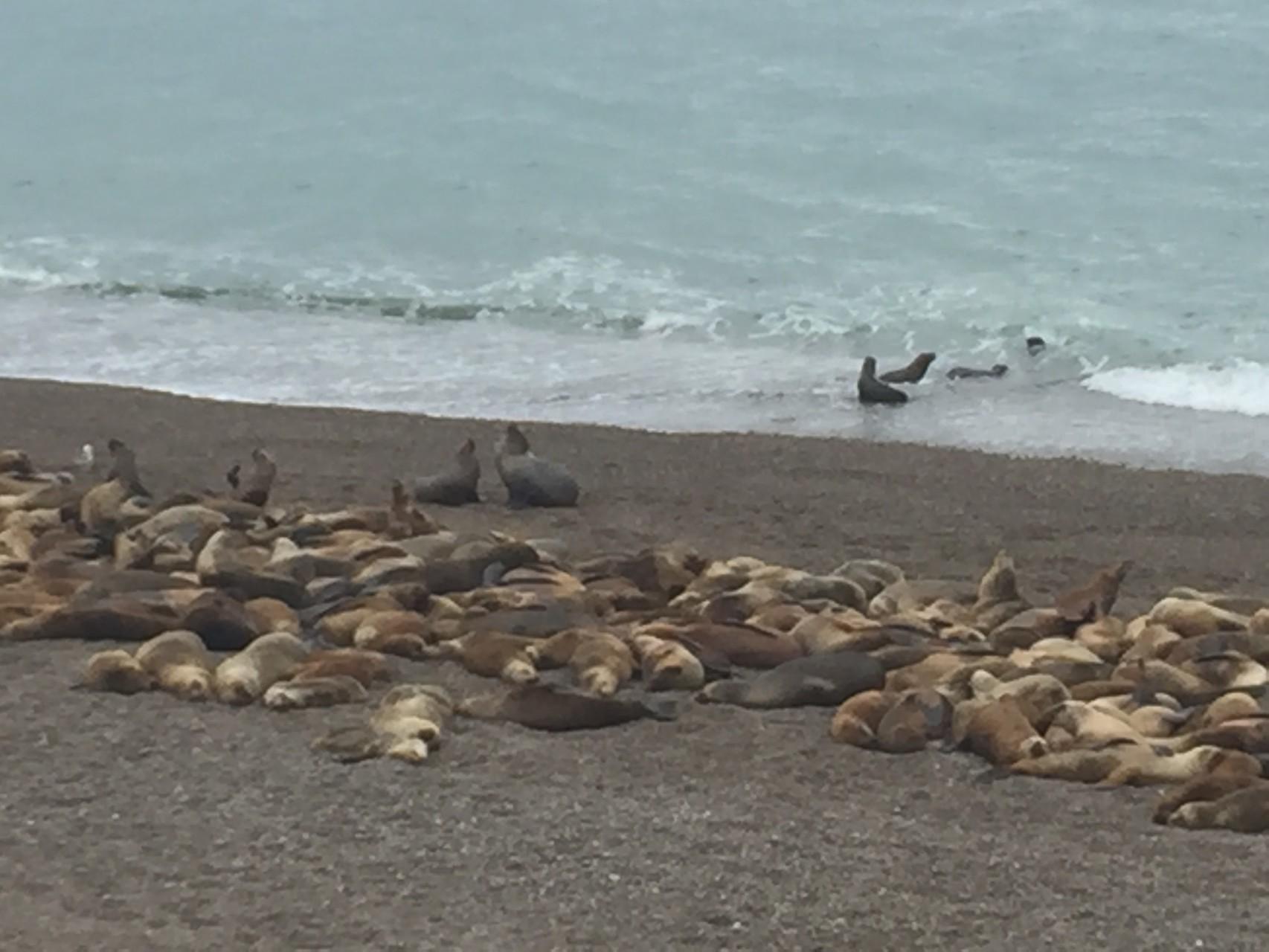 Seelöwen in Caleto Olivia
