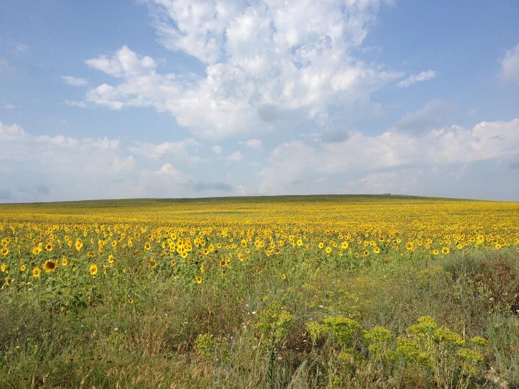 Mit dem Fahrrad unterwegs - riesige Sonnenblumenfelder