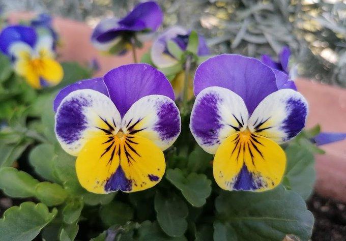 Las tres violetas