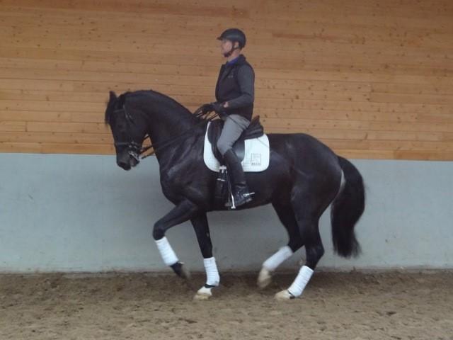 9 Jahr alt  Grand Prix pferd, nach Finnland verkauft