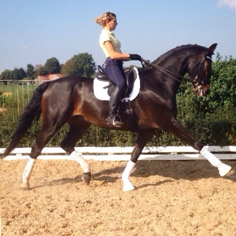 12 year old Grand Prix horse - Sold to South-Korea