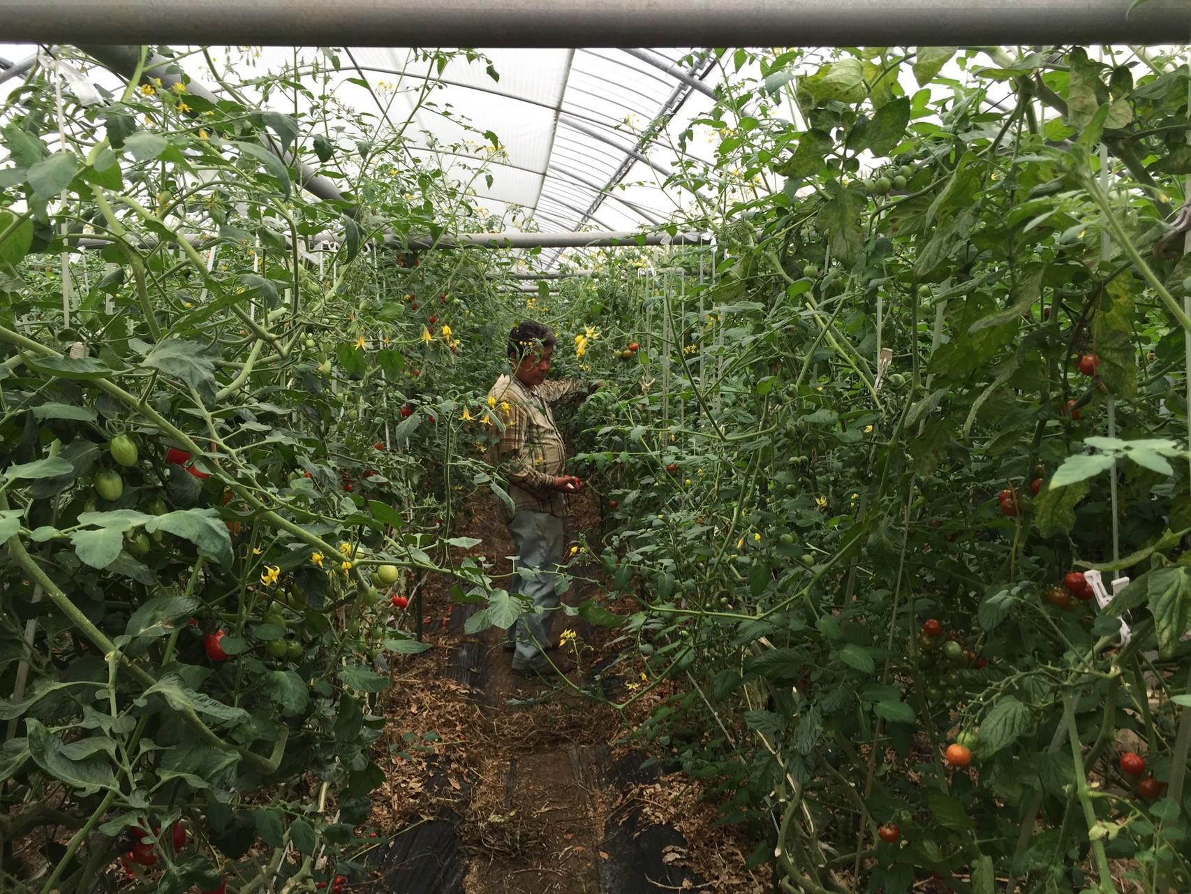 収穫中の吉田さん