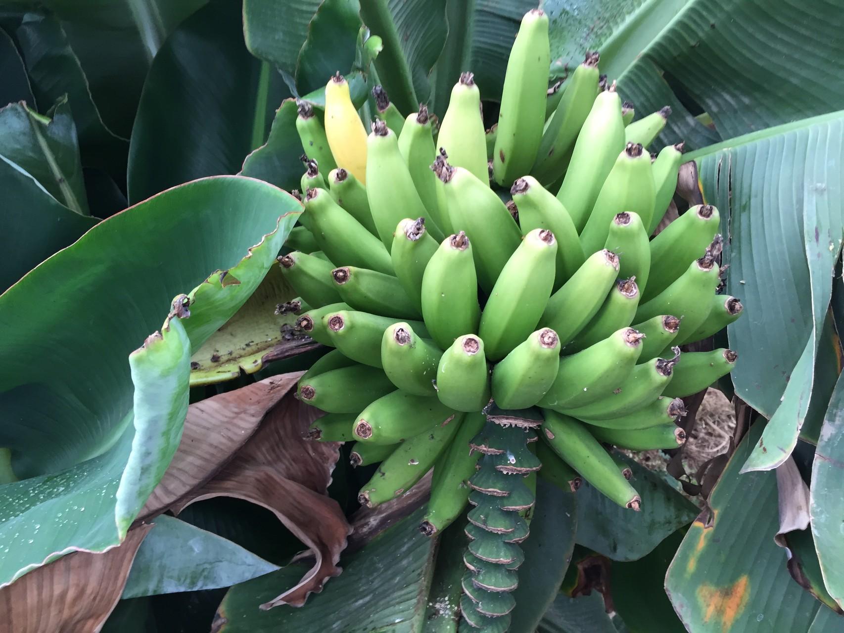 ハウス内のバナナ
