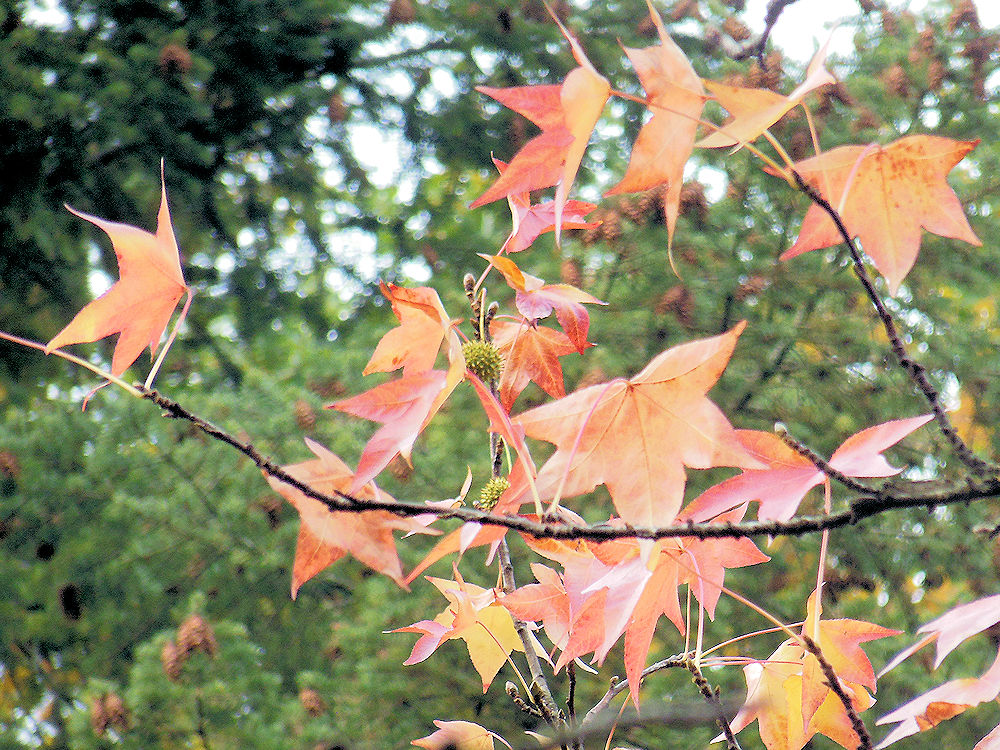 Amerikanischer Amberbaum, Foto: F. Handel