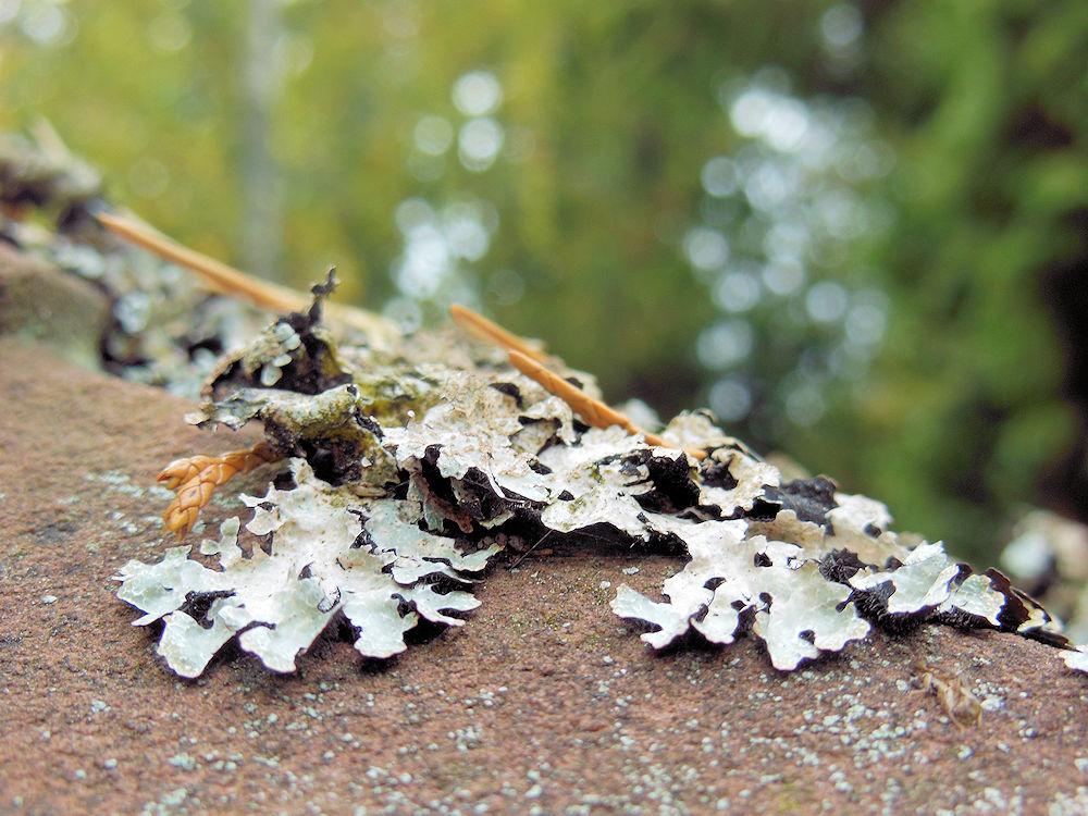 Flechte Parmelia sulcata, Foto: F. Handel