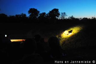 Leeuw bij nacht in koplamp auto