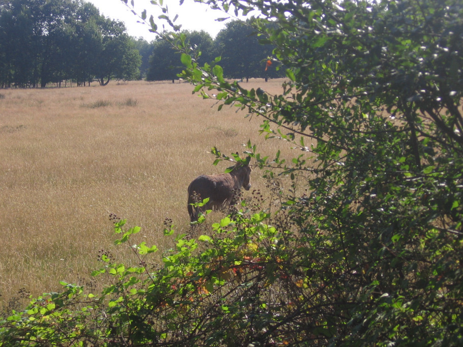 Ane dans prairie de Sologne
