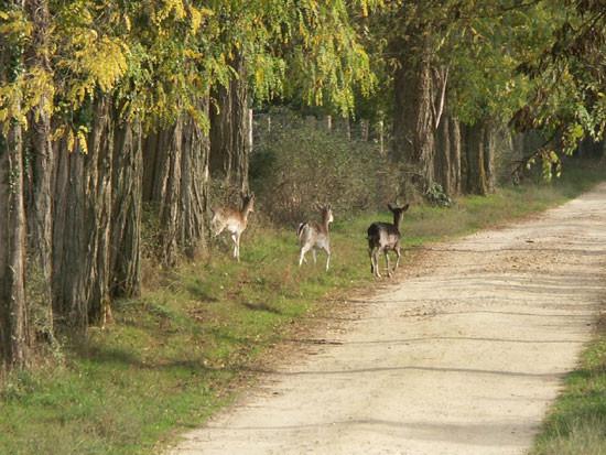 Chevreuils sur chemin de Sologne